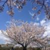 お花見真っ盛り – 静岡暮らし記 2014/3/30-4/5