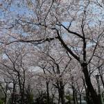 お花見2011.4