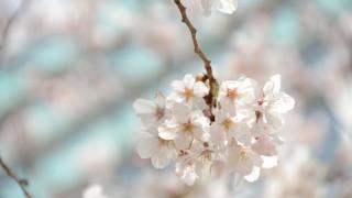 桜開花! – 週記 3/25-3/31