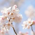 桜満開 – 2012 –