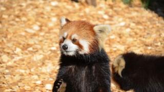 レッサーパンダが超可愛い