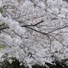 桜は僕らを立ち止まらせてくれない – 桜満開静岡2013