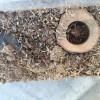 カブトムシ幼虫の土を交換