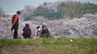 私が瀬戸川の桜を愛してやまない理由 #おらが桜