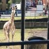 【週記】日本平動物園にキリンがやってきた!