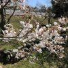 【週記】桜満開 2019/3/29-4/5
